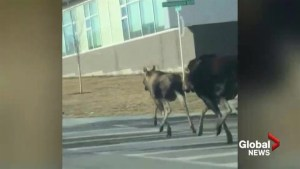 Video shows dogs chasing moose in southwest Calgary